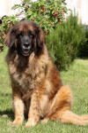 Chien Providence 11 ans - Leonberg  (11 ans)