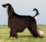 Dog - Lévrier afghan