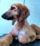 paris mi mascota - Lévrier afghan (7 mois)