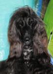 Esthelle belle chienne Lévrier Afghan - Lévrier afghan