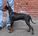 Maxx - Terrier de Manchester Mâle (2 ans)