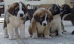 Chien Lusi,Lusón,Lula y Lulo - Mâtin espagnol  (1 mois)