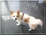 Chien Dolly - Croisé Spitz Moyen / Pekinois - Yorkshire  - Pékinois  (Vient de naître)
