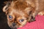 Chien Louna petite chienne Pékinoise - Pékinois  (Vient de naître)