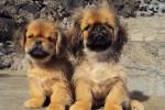 Kappa et Samy pékinois de 5 mois - Pékinois (5 mois)