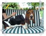 Grussgott le basset-hound - Basset Hound