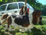 DomTom & Grussgott les basset-hound - Basset Hound
