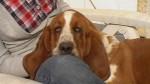 Fiona femelle basset hound - Basset Hound
