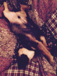 Chien My Ham :3 - Basset Hound Mâle (6 mois)