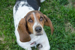 Photo Basset Hound