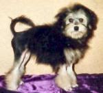 Petit Chien Lion - Petit chien lion