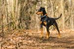 Photo Pinscher allemand