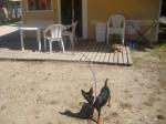 Blacky protège la maison ! - Pinscher nain Mâle (2 ans)