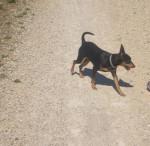 Blacky en promenade - Pinscher nain Mâle (2 ans)