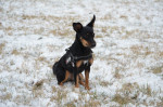 Photo Pinscher nain