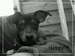 Happy ? - Pinscher nain Mâle (11 mois)