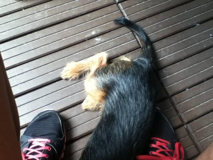 Petite Nicky qui dort - Pinscher nain (3 mois)