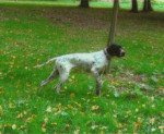 Chien POINTER ANGLAIS      Cybelle - Pointer  (0 mois)