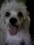 Dixie - Pudelpointer (3 ans)