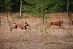 Photo Rhodesian Ridgeback
