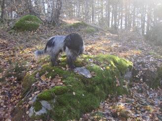 Wilton - Schapendoes Mâle (4 ans)