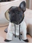Snoop - Bouledogue français Mâle (8 mois)
