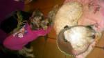 Chien cory - Schnauzer moyen Femelle (Vient de naître)