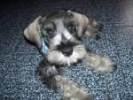 Chien Doggy - Schnauzer moyen Mâle (10 mois)
