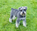 Photo Schnauzer moyen