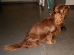 Photo Sussex Spaniel