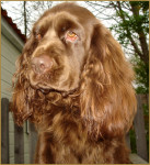 Elastic - Sussex Spaniel (2 ans)