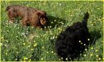 Elastic dans la prairie - Sussex Spaniel (2 ans)