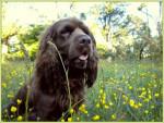 Elastic en las flores - Sussex Spaniel (2 ans)