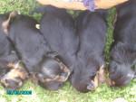 ökih - Terrier Brésilien Mâle (1 mois)
