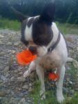 Sumo - Terrier Brésilien Mâle (3 ans)