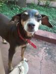 Talia - Terrier Brésilien (12 ans)
