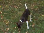 Errado du repère des mandets terrier brésilien - Terrier Brésilien