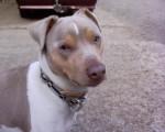 Alto, Terrier Brésilien, 5 ans - Terrier Brésilien (5 ans)