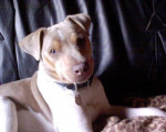 Terrier Brésilien 5 ans : Alto - Terrier Brésilien (5 ans)
