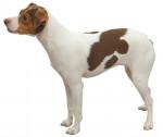 Photo Terrier Brésilien
