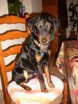 Tyson - Terrier de chasse allemand Mâle (1 an)