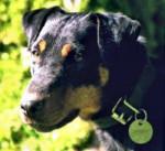 Terrier de Chasse Allemand - Terrier de chasse allemand