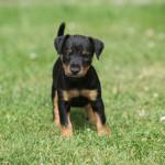 Photo Terrier de chasse allemand