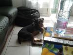 Flash - Terrier de chasse allemand Mâle (4 ans)