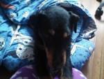 Mi perro - Terrier de chasse allemand Mâle (4 ans)