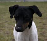 Photo Terrier japonais