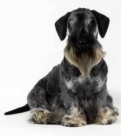 cockie - Terrier Tchèque Mâle (1 mois)
