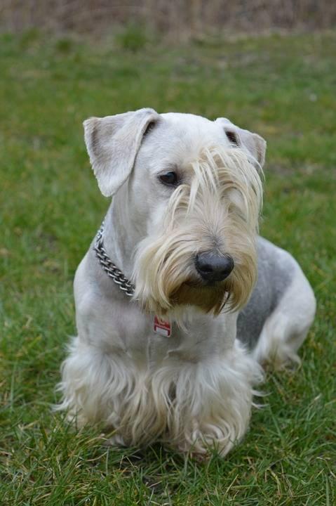 Photo Terrier Tchèque