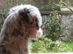 Odi - Terrier tibétain Mâle (1 an)