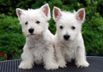 my two dogs - Terrier tibétain (6 ans)